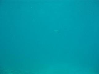 20130711小さいアオウミガメ