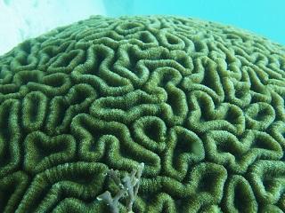 20130715脳サンゴ