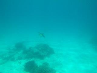 20120716アオウミガメ