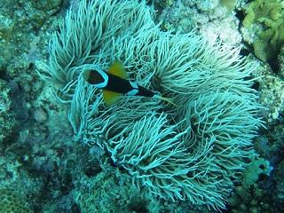 201308サンゴ類 シライトイソギンチャ