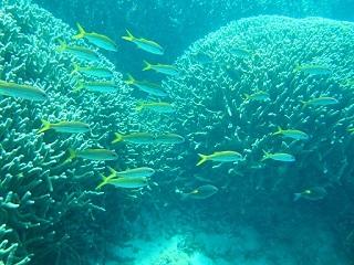 201308サンゴ類 ユビエダサンゴ