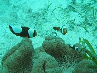 201308サンゴ類イボハタゴイソギンチャク