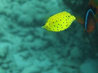 20130901コーラル ミナミハコフグ幼魚