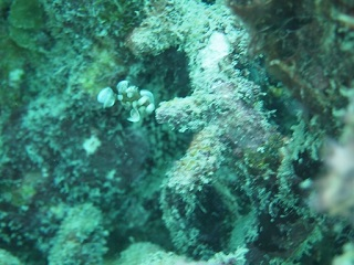 20130901コーラルチョウチョウコショウダイ幼魚