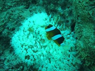 20131022沖縄本部クマノミ白化イソギン