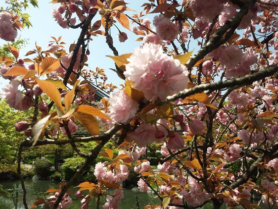 東寺のブログ用八重桜