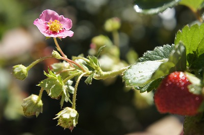 赤花いちご