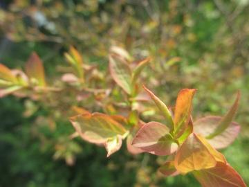 ブルーベリー新芽と花芽