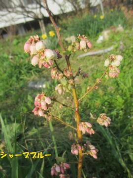ブルーベリー新芽と花芽4