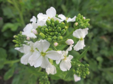 大根の花たち3