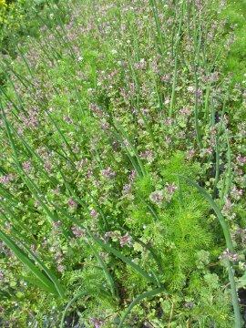 赤タマネギの雑草2
