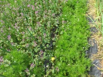 赤タマネギの雑草3