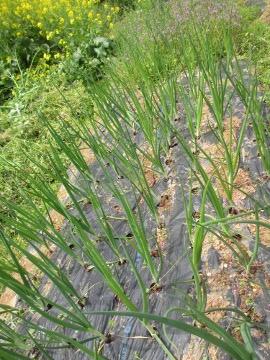 赤タマネギの雑草5