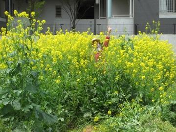 赤タマネギの雑草8