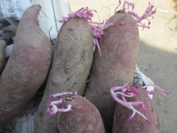 さつま芋の苗作り2