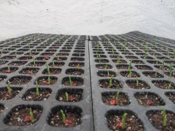 トウモロコシ芽