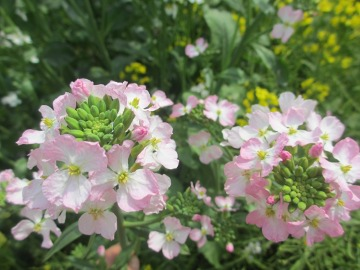 ピンクの大根の花