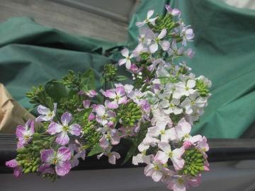 ピンクの大根の花3
