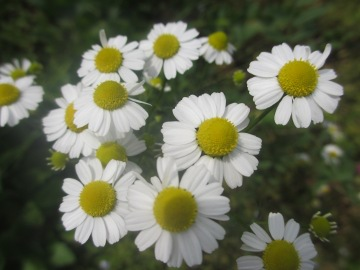 カモミール花盛り