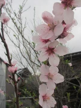 アーモンド花盛り
