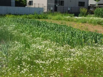 カモミール畑3