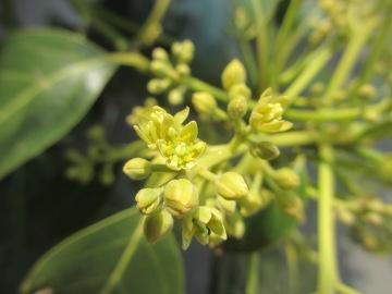 アボカドの花が2