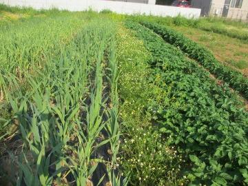 カモミール畑?2