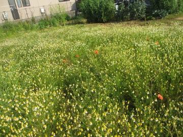 カモミール畑?3