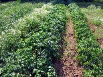 じゃが土寄せと玉ねぎ収穫