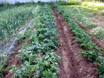 じゃが土寄せと玉ねぎ収穫4