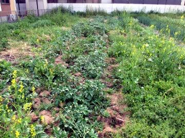 じゃが土寄せと玉ねぎ収穫5