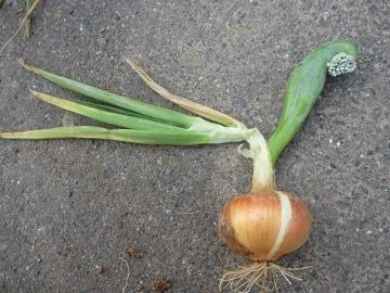 じゃが土寄せと玉ねぎ収穫9