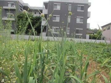ニンニク芽摘み