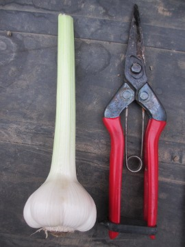 ニンニク芽摘み3