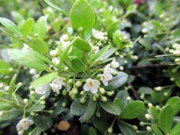 ツゲの花2