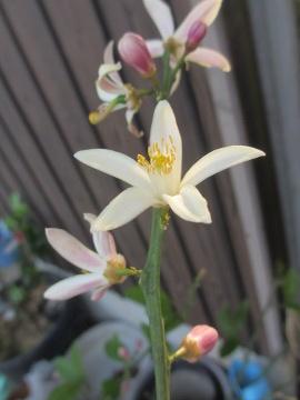 IMG_8670レモンの花
