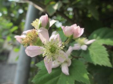 ブラックベリーの花が