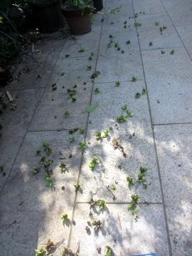 落ちた柿の実2