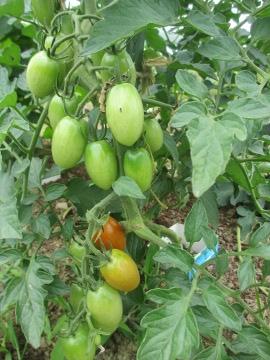 トマトがワサ~3