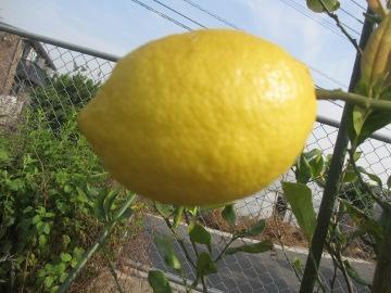 レモン1個