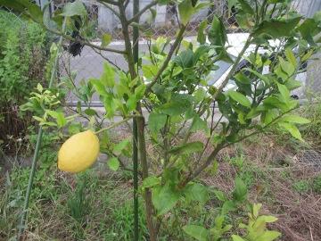 レモン最後の収穫