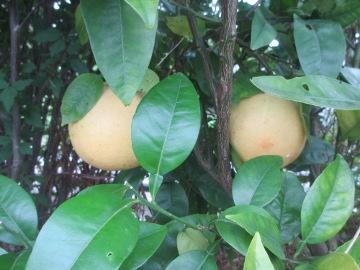 レモン最後の収穫3