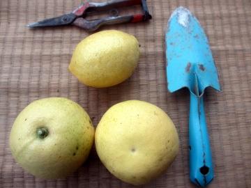 レモン最後の収穫4