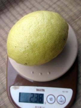 レモン最後の収穫7