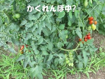トマトたくさん生ってる3