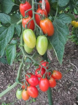 トマトたくさん生ってる5