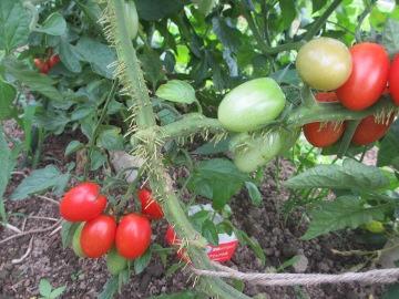 トマトたくさん生ってる6