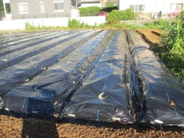 マルチ完了と芋苗植え2