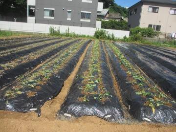 続々芋苗植え2