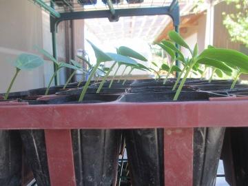 続々芋苗植え4